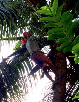 cutting coconut on tree
